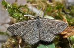 Lewes Wave (Scopula immorata)